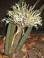 Sansevieria sp. Maco - inflorescence (5329428243).jpg