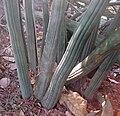 Sansevieria sp. Mount Maco 2 (5233382645).jpg