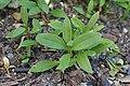 Saponaria officinalis kz01.jpg