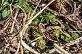Sarcoscypha austriaca in Valuevsky 3.jpg