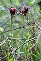 Sarracenia jonesii FWS (27040297772).jpg