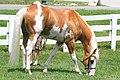 Sato - Palomino, Sabino, THoroughbred Stallion (5970379522).jpg
