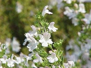<i>Satureja</i> genus of plants