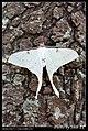 Saturniidae (5436199097).jpg