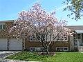 Saucer Magnolia tree.jpg