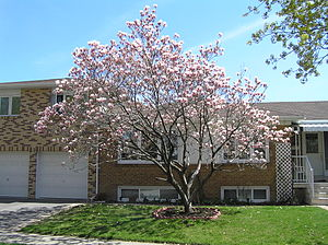 Magnolia liliiflora - The Saucer magnolia (Magnolia × soulangeana is a hybrid of which Magnolia liliiflora is one of the parents