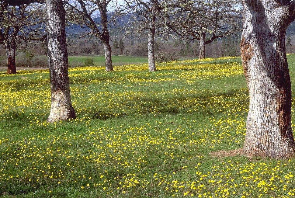 Savanna Oregon oak buttercup BLM.jpeg