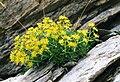 Saxifraga aizoides (Pyrenees) 2.jpg