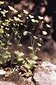 Saxifraga arachnoidea Sternb.jpg