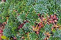 Saxifraga paniculata, jardín botánico alpino-ártico, Tromsø, Noruega, 2019-09-04, DD 76.jpg