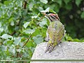 Scaly-bellied Woodpecker (Picus squamatus) (48553374047).jpg