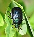 Scarab beetle Anomala dubia? (9048897455).jpg