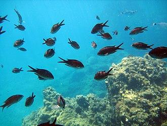 Chromis chromis - Image: School of chromis (and mystery fish)