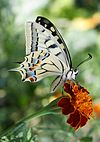 Schwalbenschwanz (Papilio machaon).jpg