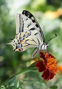 Махаон гёбелек (Papilio machaon) гокканы юсюнде