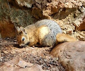 Caucasian squirrel - Image: Sciurus anomalus Jeita Grotto