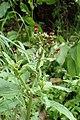 Scrophularia auriculata kz1.jpg
