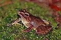 Sculpted Madagascar frog (Gephyromantis sculpturatus) Ranomafana.jpg