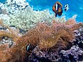 Sea anemones (Actiniaria).jpg