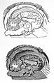 Sections of brain, sagittel and coronal. Wellcome L0002043.jpg