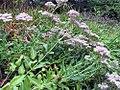 Sedum in the United States National Arboretum 001.jpg