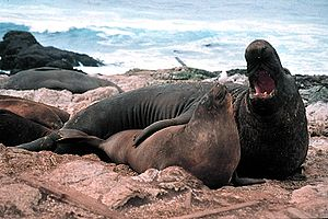 Elephant seal - Male and female northern elephant seals