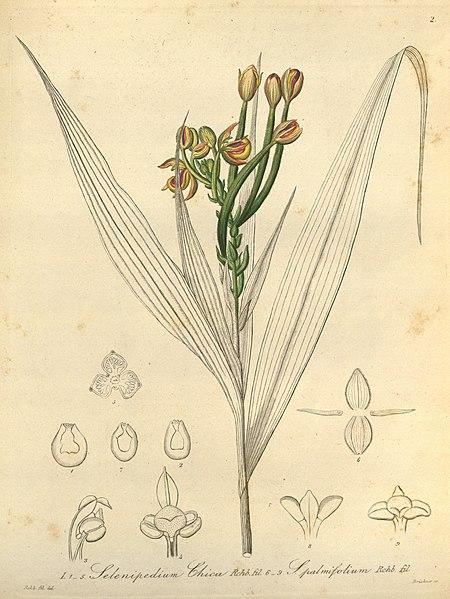 File:Selenipedium chica and Selenipedium palmifolium-Xenia 1-2 (1858).jpg