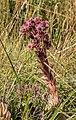 Sempervivum tectorum in Chablais (2).jpg