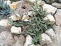 Senecio articulatus - Palmengarten Frankfurt - DSC01756.JPG