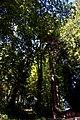 Sequoie a Vallinfreda luceombra 01.jpg
