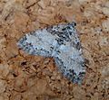 Seraphim . Lobophora halterata - Flickr - gailhampshire.jpg