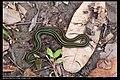 Serpentes (6085492946).jpg