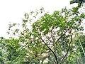 Sesbania grandiflora- Agathicheera,Agathi,Humming bird tree.jpg
