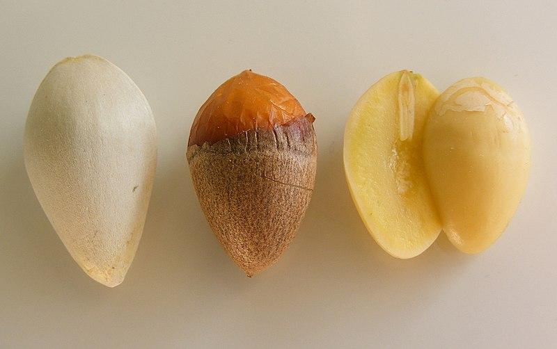 File:Sezierter Ginkgosamen ohne Sarkotesta.jpg