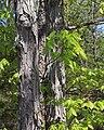 Shagbark hickory 2trunks spring.jpg