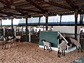 Sheep - Wasco County Fair 2014.jpg