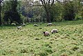 Sheep grazing, south of Brenchley - geograph.org.uk - 1274409.jpg