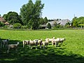 Sheep reluctant to leave the shade - geograph.org.uk - 1532425.jpg