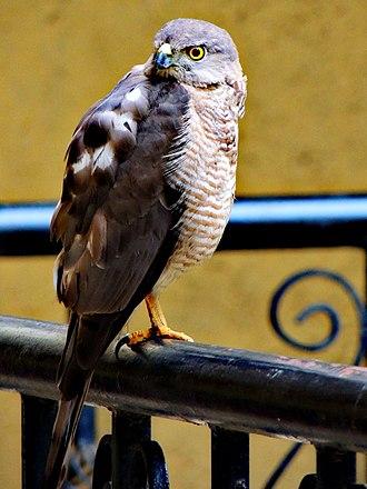 Shikra - Image: Shikra bird, Pune