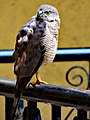Shikra bird, Pune.jpg
