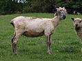 Shorn Wensleydale longwool female.jpg