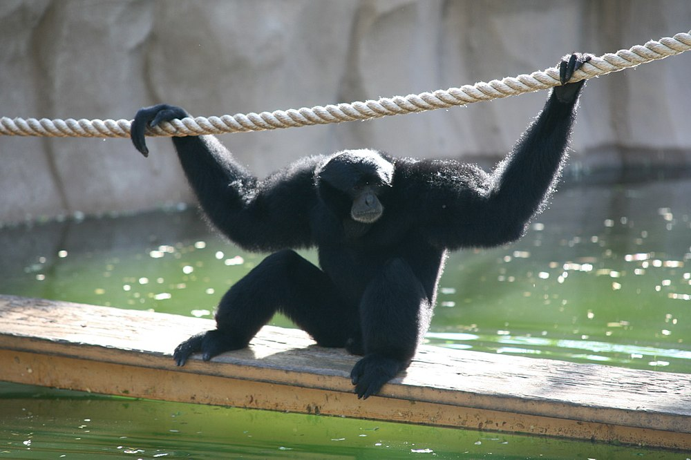 The average litter size of a Siamang is 1