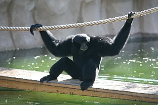 Siamang the fourth largest living species of ape in the world after the orangutans