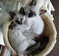 Siamese sisters.jpg