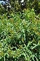 Sibiraea laevigata kz10.jpg
