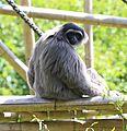 Silbergibbon Hylobates moloch Tierpark Hellabrunn-14.jpg