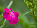 Silene coronaria (rose campion) (14526251271).jpg