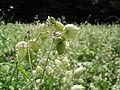 Silene vulgaris - Traubenkopf-Leimkraut.jpg