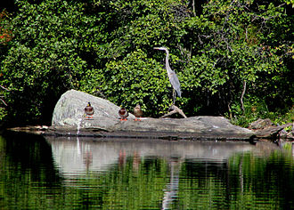 Harriman State Park (New York) - Great blue heron and mallards at Silvermine Lake