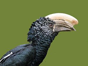 Silvery-cheeked hornbill - Image: Silvery cheeked Hornbill RWD2